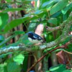 Featured Photo – Black-throated Blue Warbler
